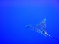   eagle ray ras mohammed  